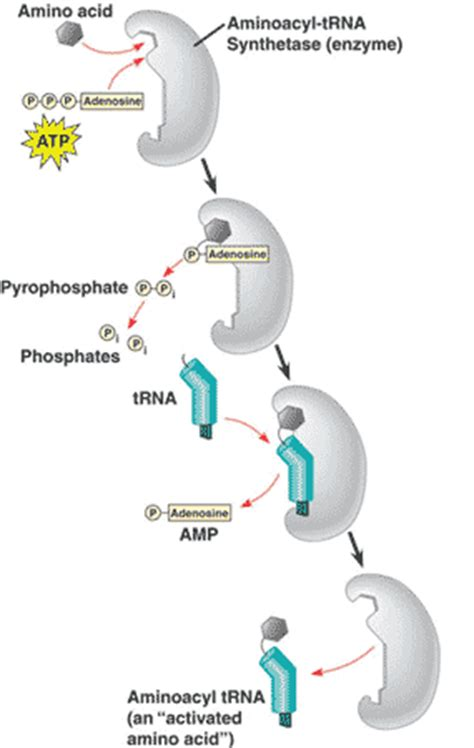Quia - AP Chapter 17 - From Gene to Protein (detailed)