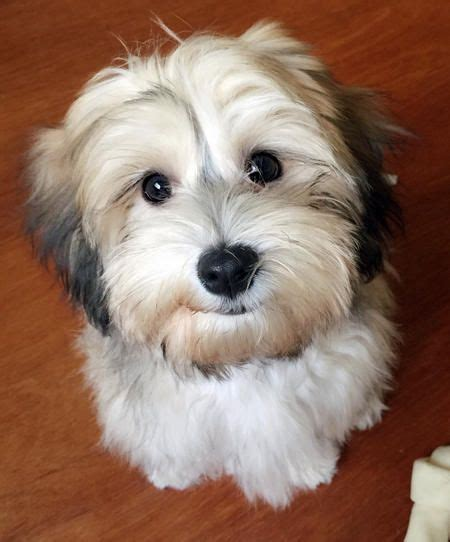 """Miso the Havanese--""""Umph, you ate all of that donut and"""