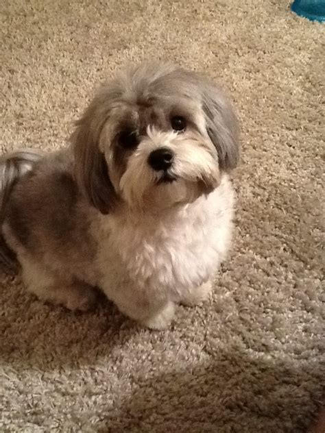 Shih Poo-love the face trim | Animals | Pinterest | The o