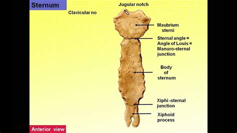 Magdy Said, Anatomy series,Thorax 3, Features of ribs and