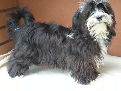 1000+ images about Havanese Dogs on Pinterest | Cuba, Bar