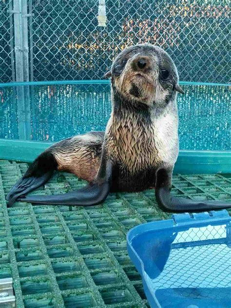 Rescued northern fur seal pup recovering at Vancouver
