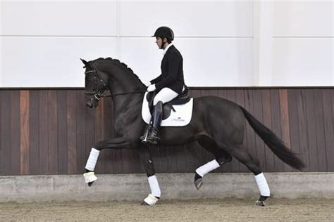 Global Player with Paul Schockemöhle breeding Contract