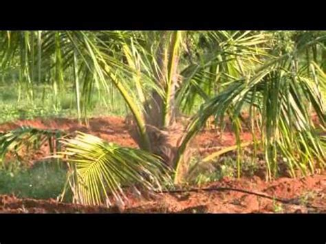 Coconut Cultivation - YouTube