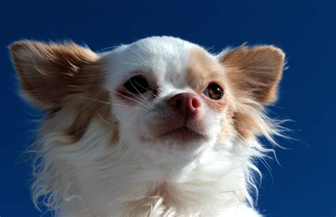 How to Train a Chihuahua Not to Bark at Strangers | Puppy