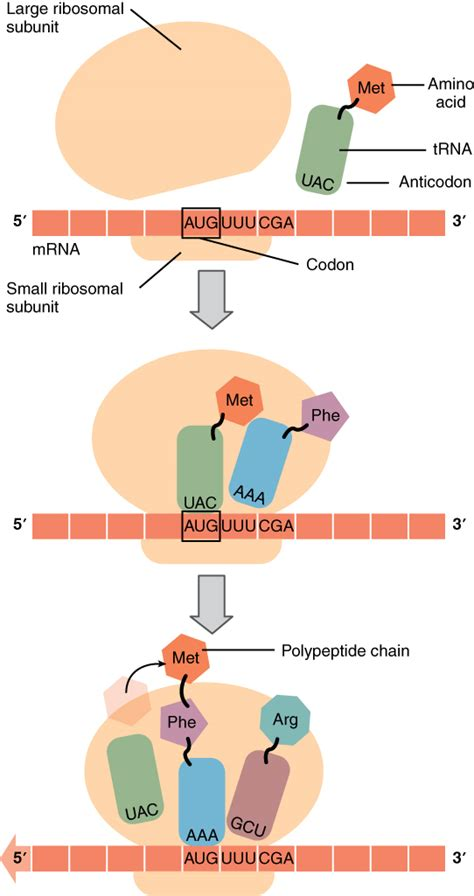 The top part of this figure shows a large ribosomal