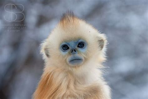 GOLDEN SNUB NOSED MONKEY BABY by tinycreations on