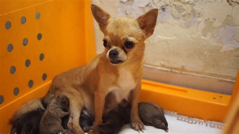 LITTLE CHIHUAHUA GIVING BIRTH TO 5 PUPPIES - YouTube