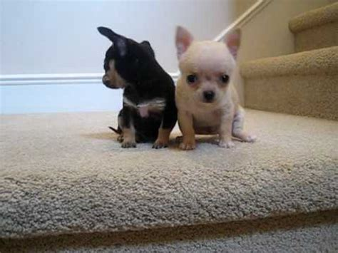 Teacup Chihuahua Puppies for Sale - YouTube