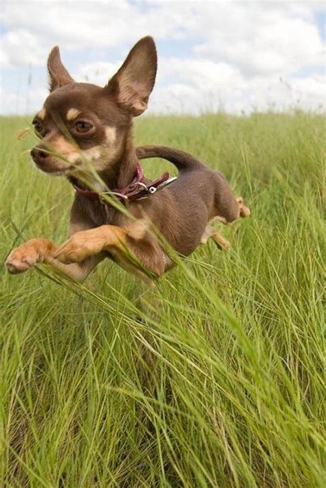 Top 10 Smallest Dog Breeds In The World - Top Inspired